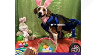 """2-benta Ohio hund som heter """"Löjtnant Dan' är en finalist att bli nästa Cadbury Bunny"""